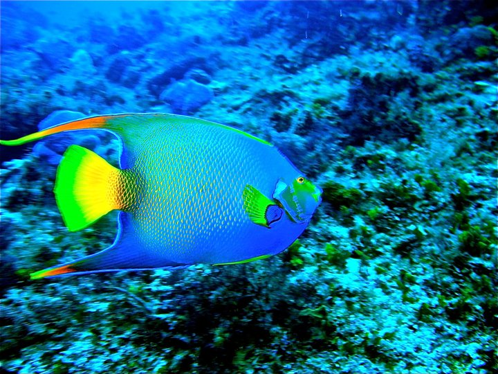 rivieramaya/angelfish23.jpg