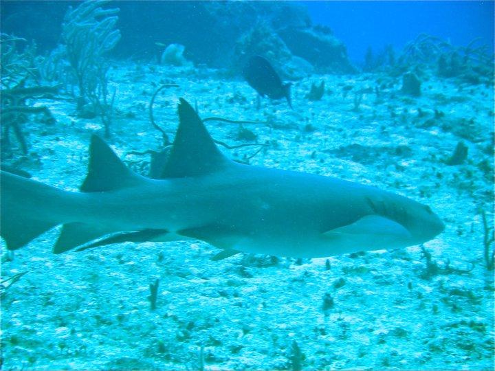 rivieramaya/shark.jpg