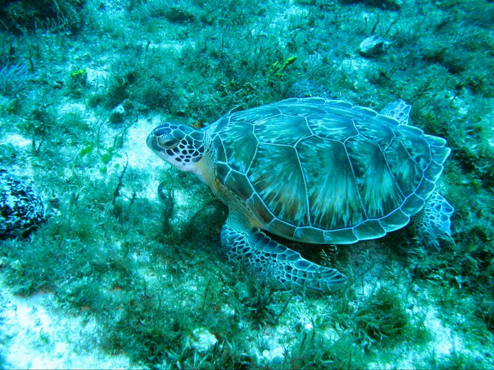 rivieramaya/turtle23.jpg