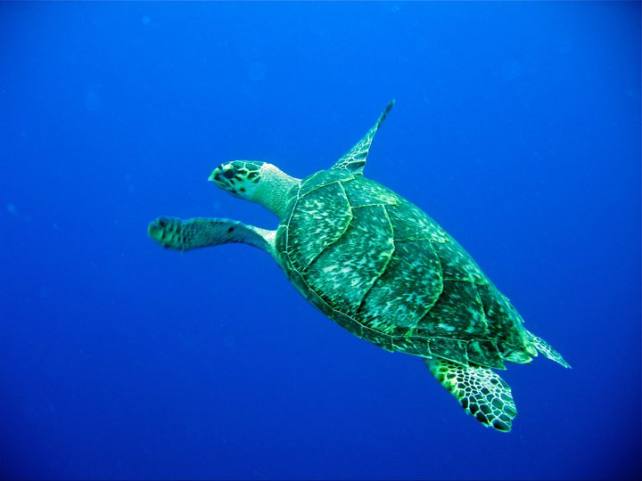 rivieramaya/turtle3.jpg
