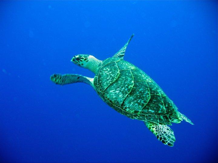rivieramaya/turtle3.jpg